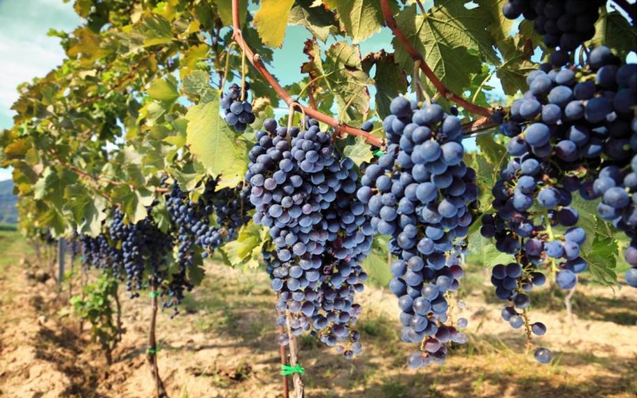 Vineyards In Italy - AspirantSG