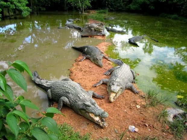 Crocodile Barnacles - AspirantSG