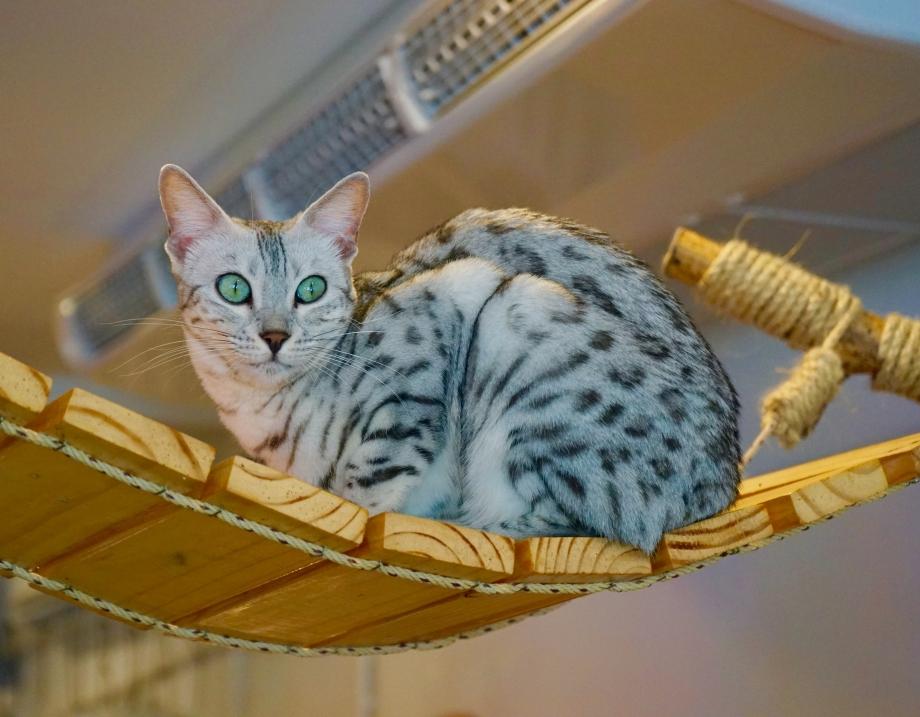 Cats with beautiful eyes Caturday Cafe Bangkok - AspirantSG