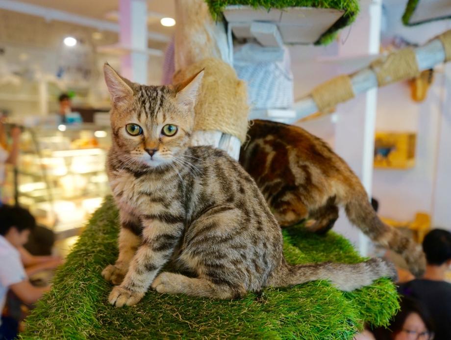 Cats At Play Caturday Cafe Bangkok - AspirantSG