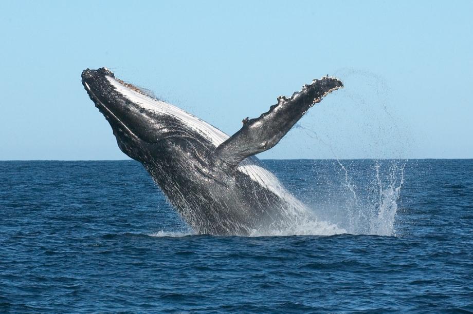 Humpback Whale Port Stephens - AspirantSG