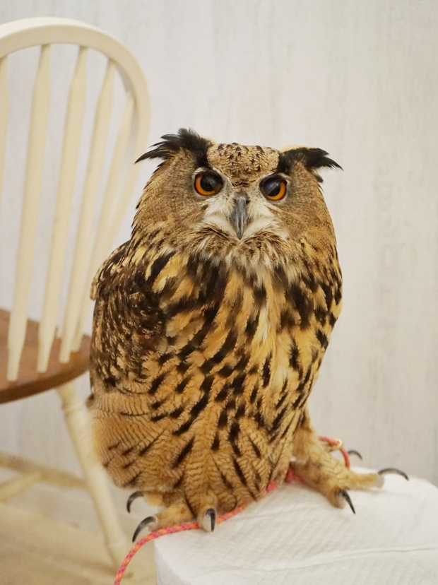 The Largest Owl In Akiba Fukurou Owl Cafe - AspirantSG
