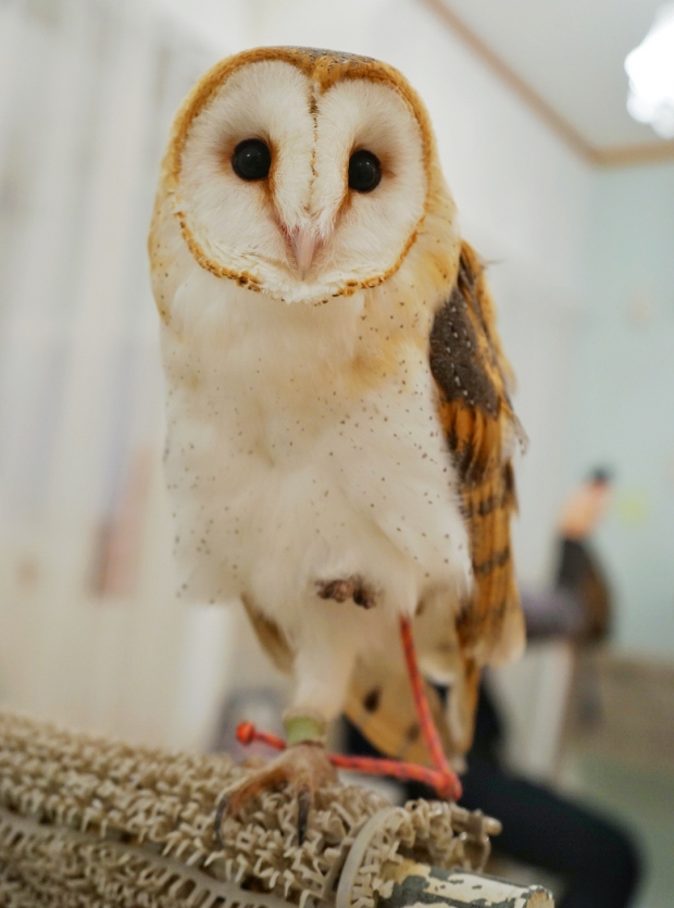 Barn Owl at Akiba Fukurou Owl Cafe - AspirantSG
