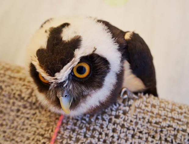 Akiba Fukurou Owl Cafe Curious Owl - AspirantSG