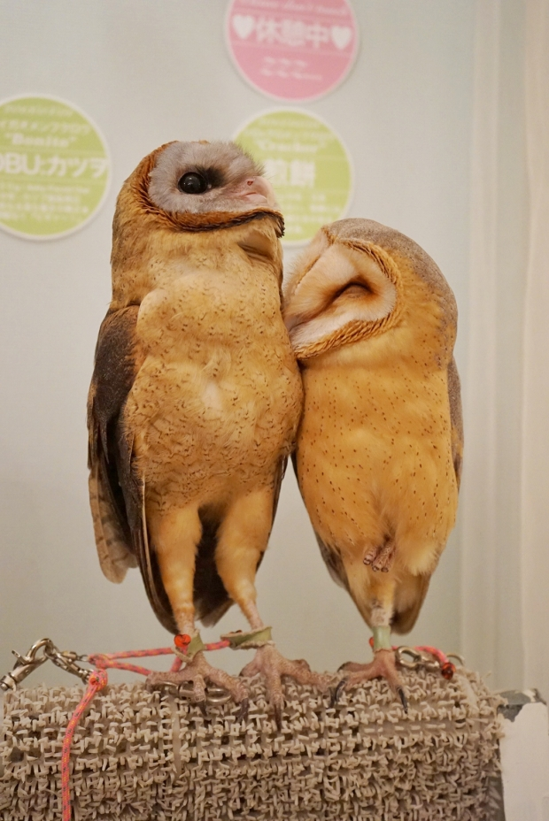 Lovey Dovey Barn Owls at Akiba Fukurou Owl Cafe - AspirantSG
