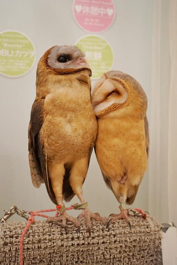 Lovey Dovey Barn Owls at Akiba Fukurou Owl Cafe - AspirantSG