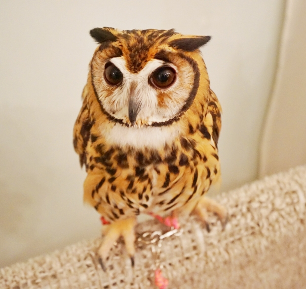 Strikingly Beautiful Owls At Akiba Fukurou Owl Cafe - AspirantSG