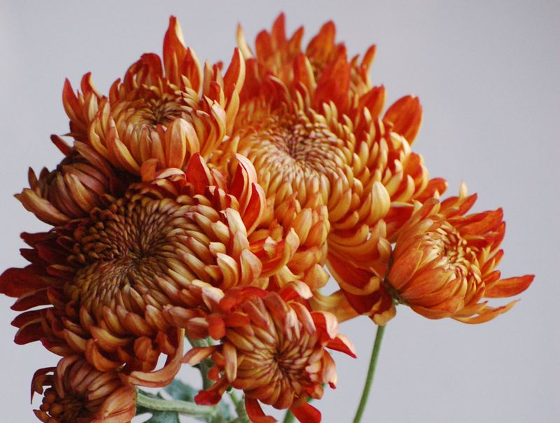 Bronze Chrysanthemums For Valentine's Day - AspirantSG