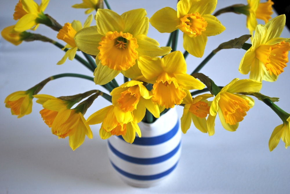 Daffodils For Valentine's Day - AspirantSG
