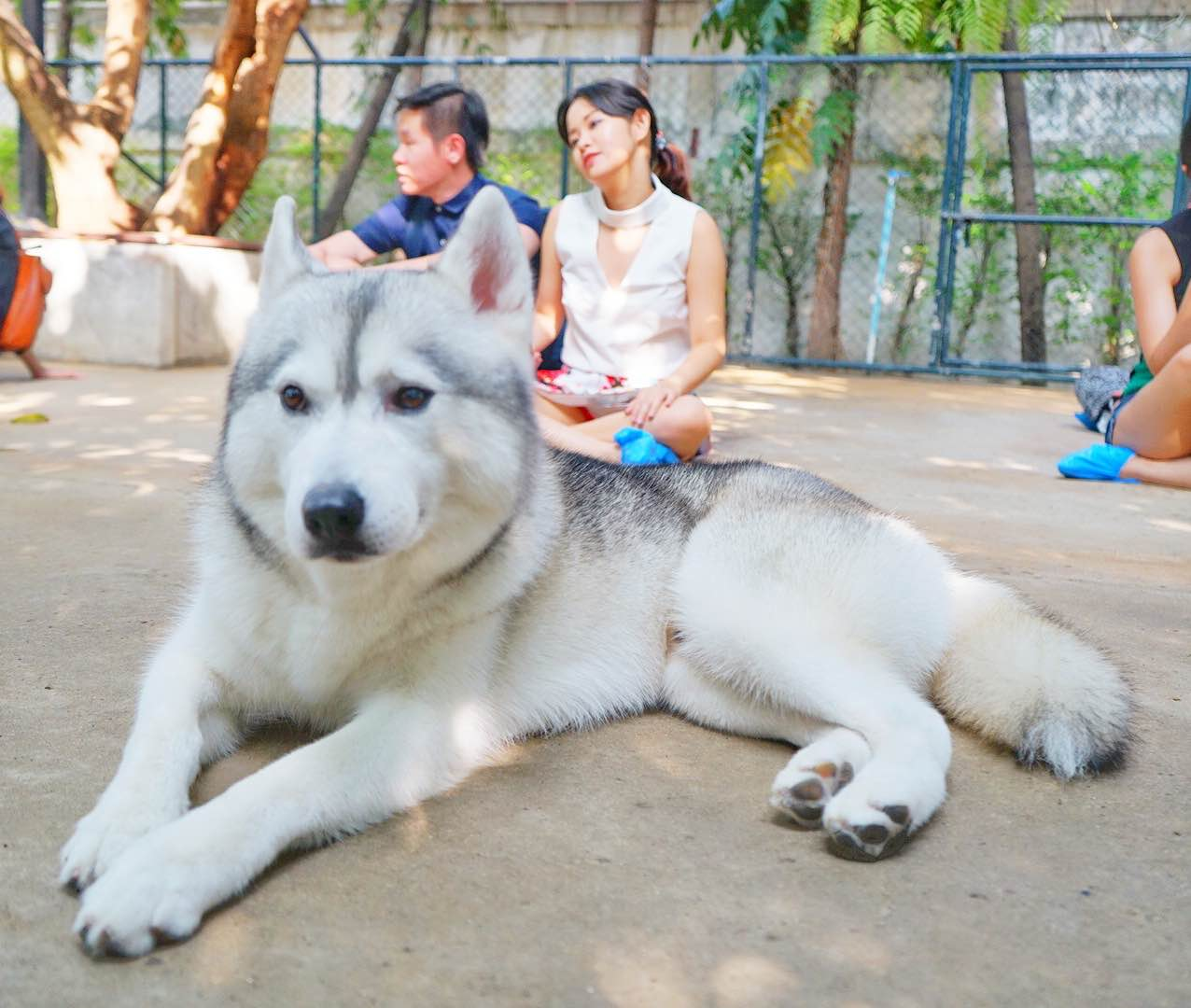 Husky Chilling Out At Neverland Siberian True Love Cafe, Bangkok - AspirantSG