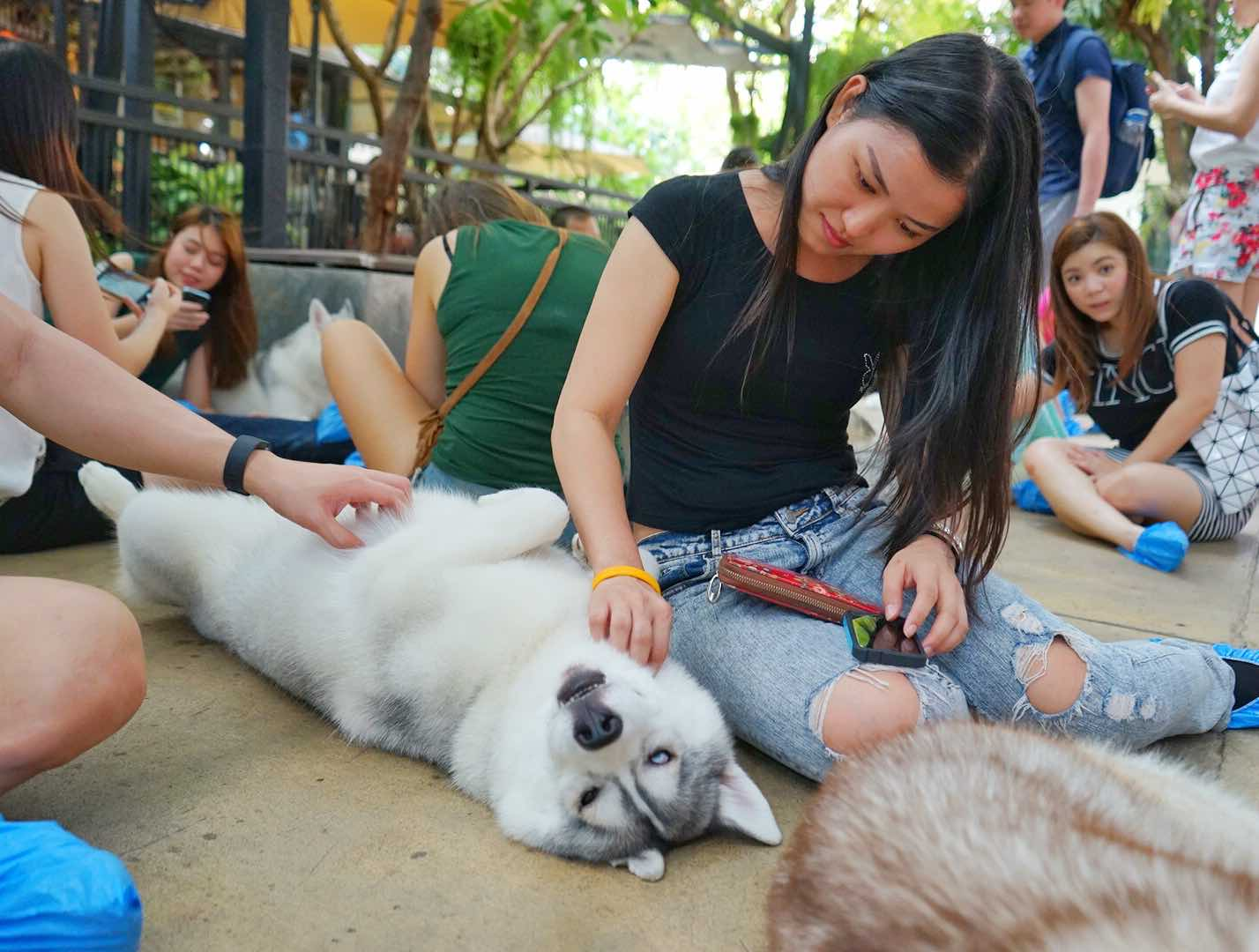 Massaging Husky At Neverland Siberian True Love Cafe, Bangkok - AspirantSG