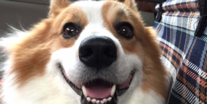 25 Adorable Corgis In Singapore To Follow On Instagram