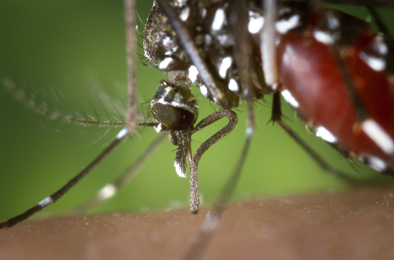 Aedes Mosquito (Pixabay Free Image) - AspirantSG