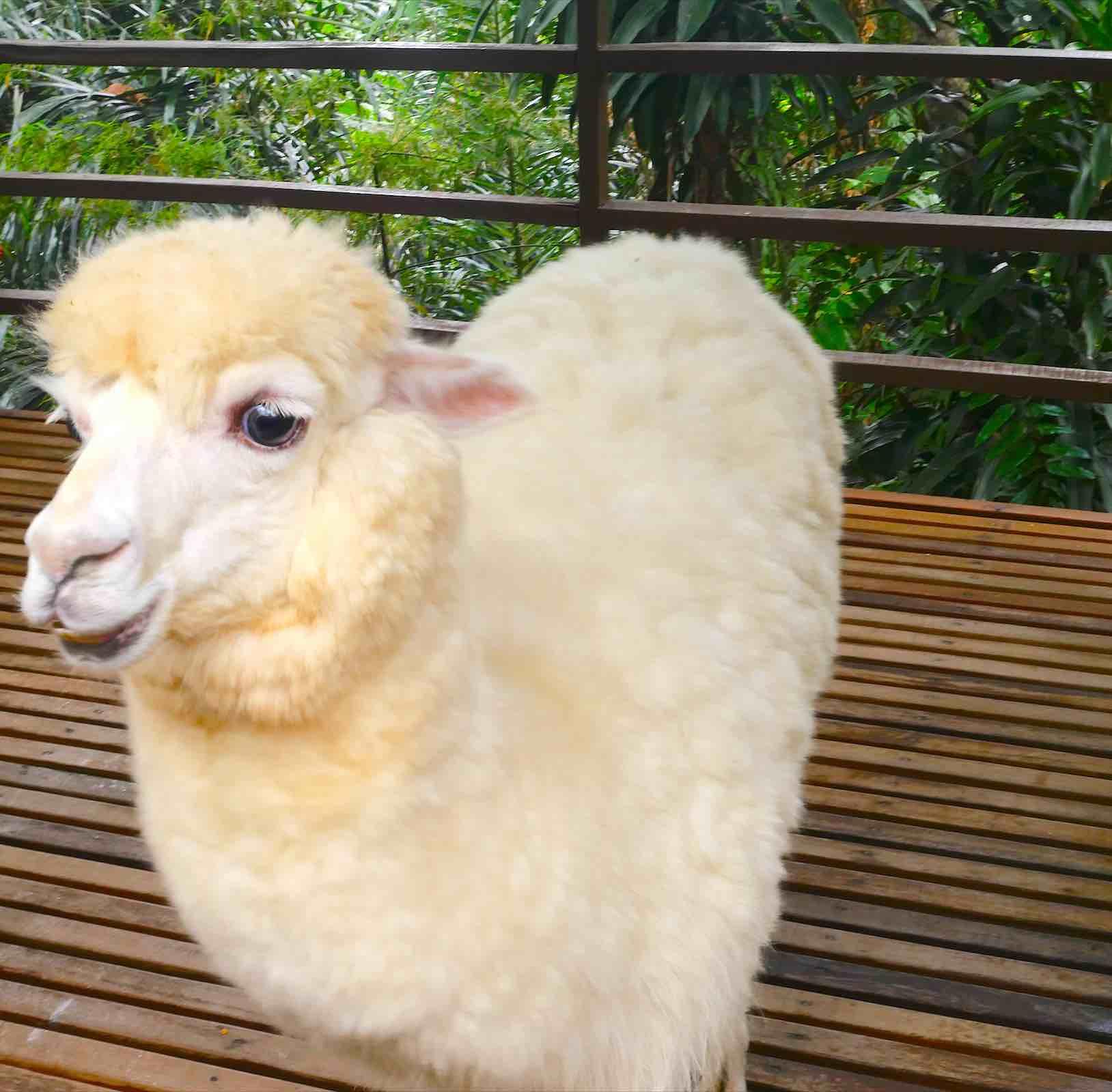 alpaca-in-mini-zoo-in-kuala-lumpur-aspirantsg