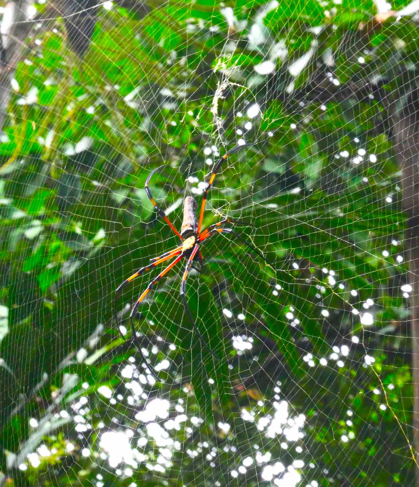 colour-spider-sighted-at-kl-canopy-walk-aspirantsg