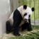 Singapore First Giant Panda Cub Born At River Safari
