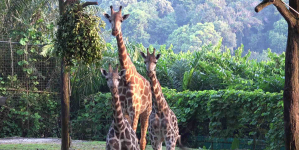 Singapore Zoo Welcomes Two Young Rothschild's Giraffes To Its Herd